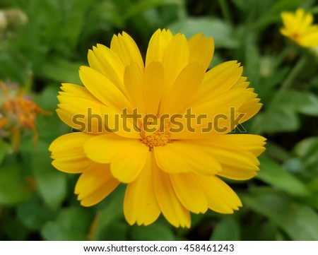 Marigold; Calendula, officinalis; Summer flower