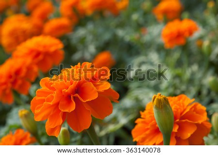marigold closeup,horizontal format with out of focus any in background - stock photo