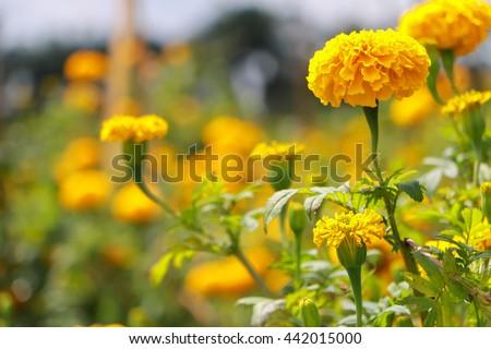 Marigold field - stock photo