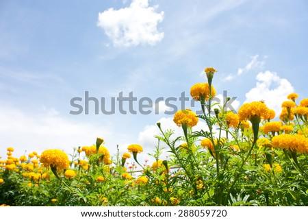 Marigold flower in blue sky - stock photo