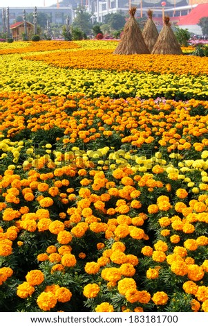 Marigold flower in garden - stock photo