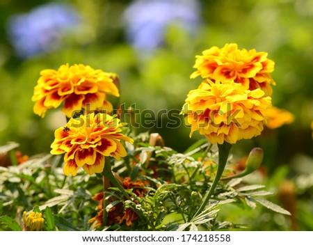 Marigold flower in the garden - stock photo