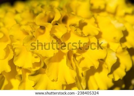 marigold flower in the garden Thailand - stock photo