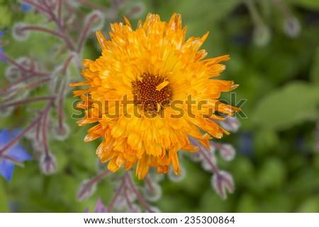 Marigold flower macro (calendula officinalis) - stock photo