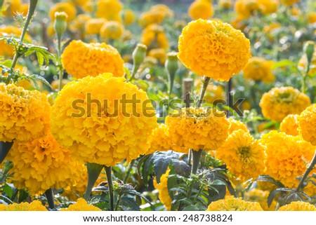 Marigold flower ,Marigold flower in the morning - stock photo