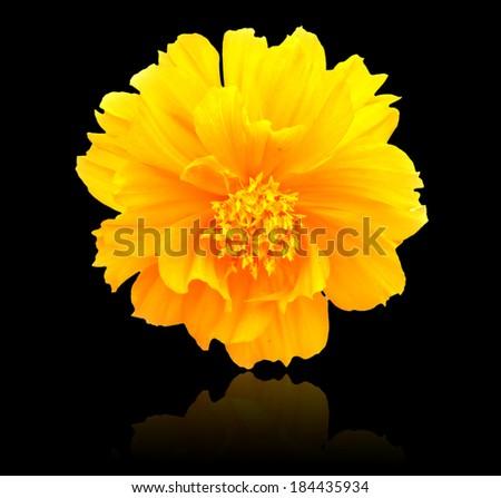 marigold flower on black background - stock photo