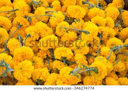 marigold flower or Calendula officinalis - stock photo