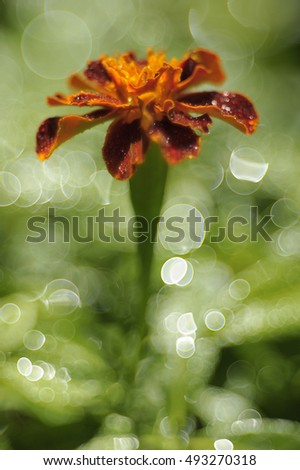 Marigold flower (Tagetes) with bubble soap bokeh