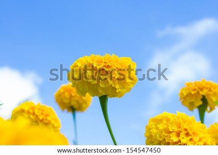 Marigold flower under blue sky - stock photo