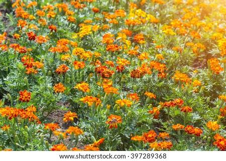 marigold flowers - stock photo
