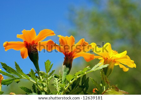 Marigold flowers from a low angle view with blue sky in the background