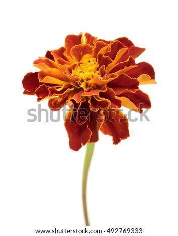 Marigold flowers isolated on white stock photo royalty free marigold flowers isolated on white mightylinksfo