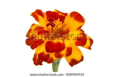 marigold flowers isolated on white background - stock photo