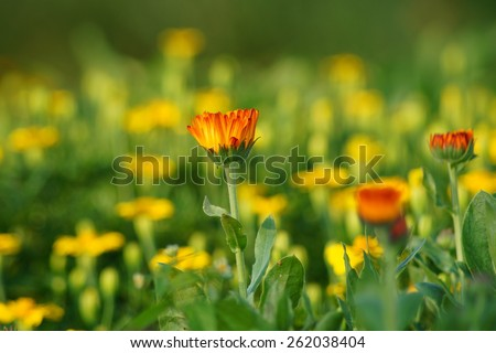 Marigold flowers on a green background - calendula - stock photo