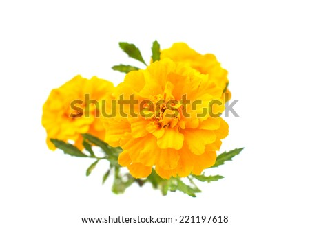 marigold flowers on a white background - stock photo
