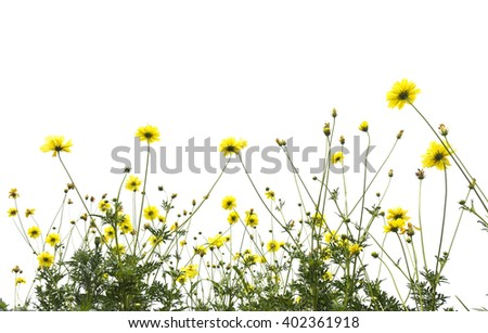 Marigold flowers (Yellow Cosmos) in the meadow on white background