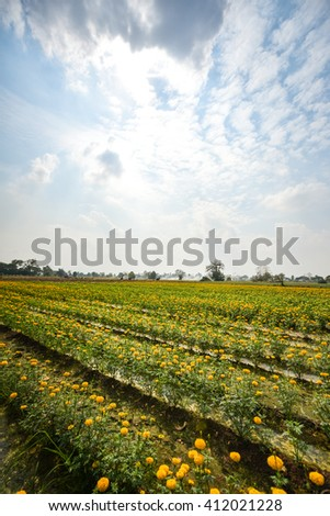 Marigold flowers, yellow flowers field.(soft focus)