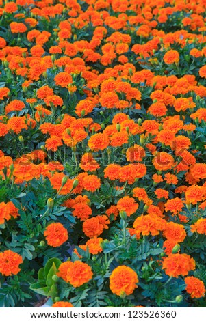 Marigold in the garden - stock photo