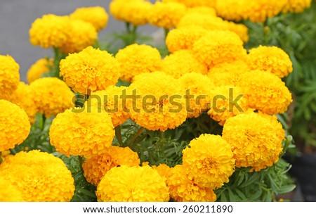 Marigold in the garden Thailand - stock photo