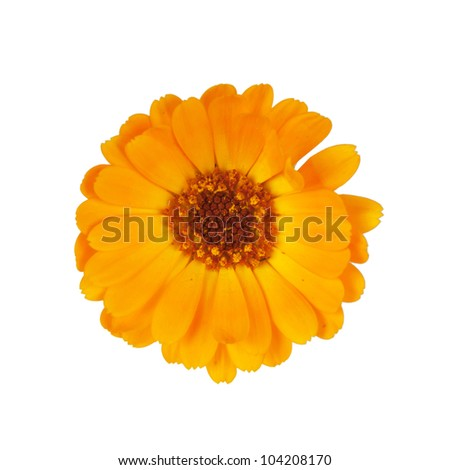 marigold isolated on white - stock photo