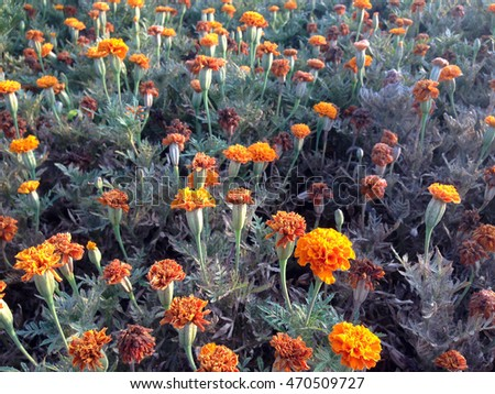 Marigold of orange color