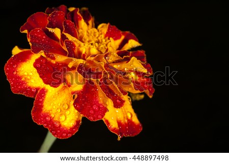 marigold on a black background