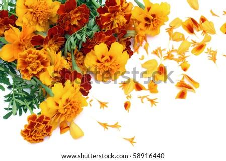 Marigold Petite Orange (Tagetes patula) flowers postcard isolated on white - stock photo