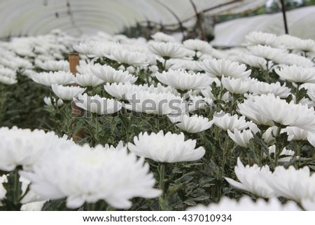 Marigold Planting Plot  ,Low key lighting Nature background , Close up ,Focus sharp specific point  - stock photo