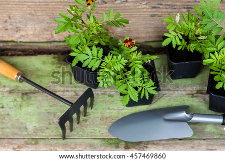 Marigold seedlings in the small black pots with black soil,  rake and trowel on the wooden green background, horticulture and the flower planting concept  - stock photo