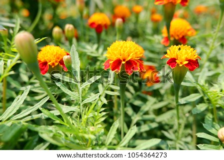 Marigolds Flower Garden Green Leaves Blackground Stock Photo (Edit ...