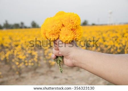 Marigolds flower in the hand with marigold field - stock photo