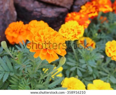 Marigolds flower in the outdoor garden - stock photo