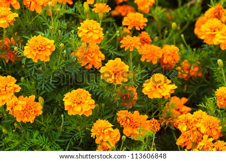 marigolds flowers - stock photo