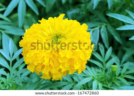 marigolds flowers - stock photo