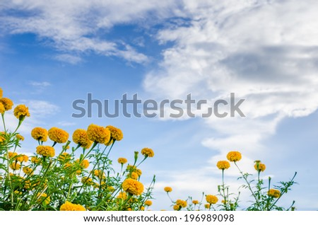 Marigolds or Tagetes erecta flower in the nature or garden - stock photo