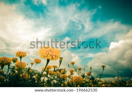Marigolds or Tagetes erecta flower in the nature or garden vintage - stock photo