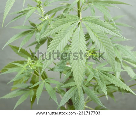 Marihuana plant with leaves