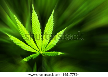 Marijuana background. Young cannabis plant marijuana plant detail - stock photo