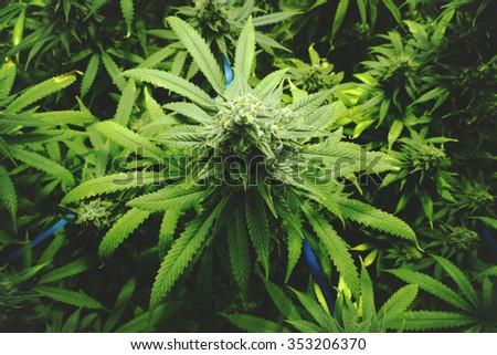 Marijuana Bud on Canopy of Indoor Cannabis Plants with Flat Vintage Style - stock photo