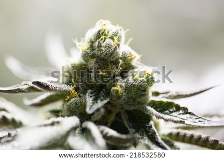 Marijuana flowering buds ( cannabis), hemp plant.  - stock photo