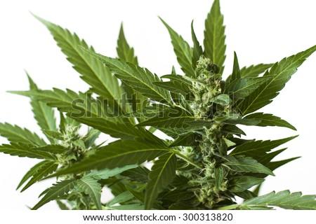 marijuana foliage background wallpaper - stock photo