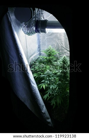 Marijuana garden indoor grow area home lab - stock photo