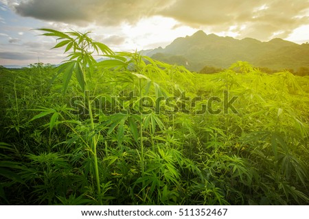 weed hd wallpapers 1080p nature