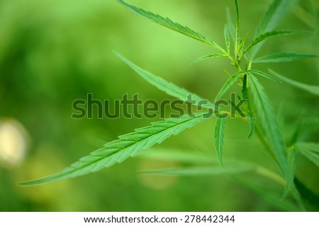 Marijuana leaf - stock photo