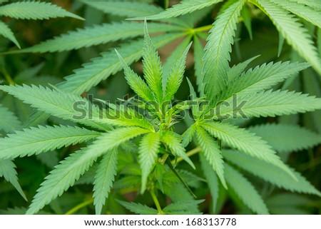 marijuana leaf in cannabis plant background - stock photo