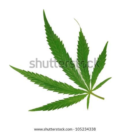 marijuana leaf on isolated on white - stock photo