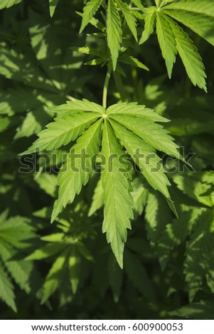 Marijuana leaves growing in the wild in Punjab, India