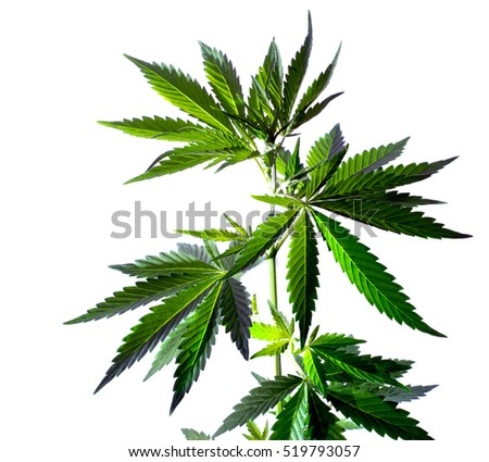 Marijuana leaves isolated on white background. Wild hemp plant.