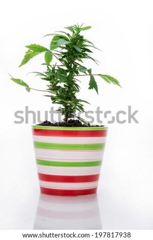 Marijuana on a white background - stock photo