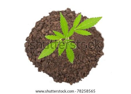 Marijuana plant - stock photo